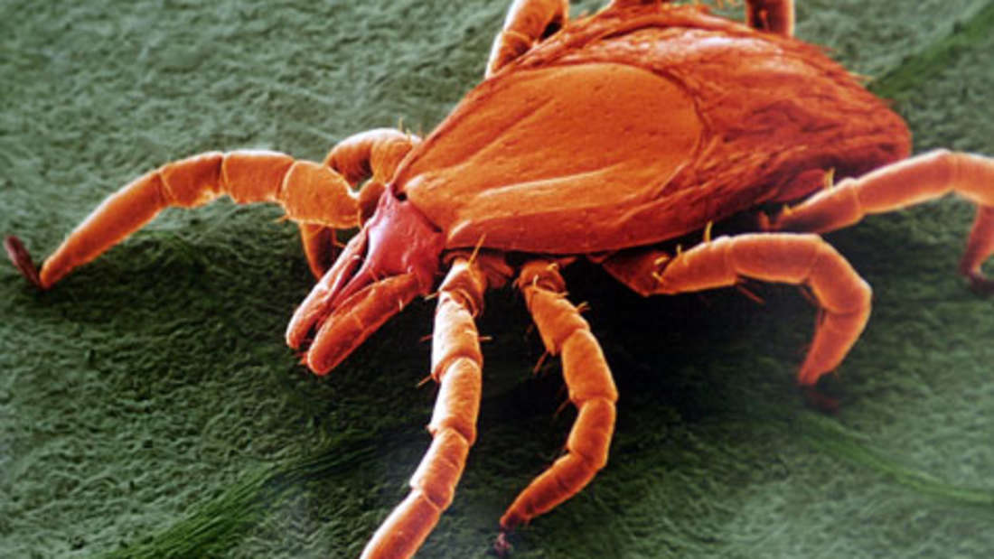 Infizierte Zecken gibt es überall in Deutschland. Es ist also auch überall von möglichen Infektionen auszugehen.