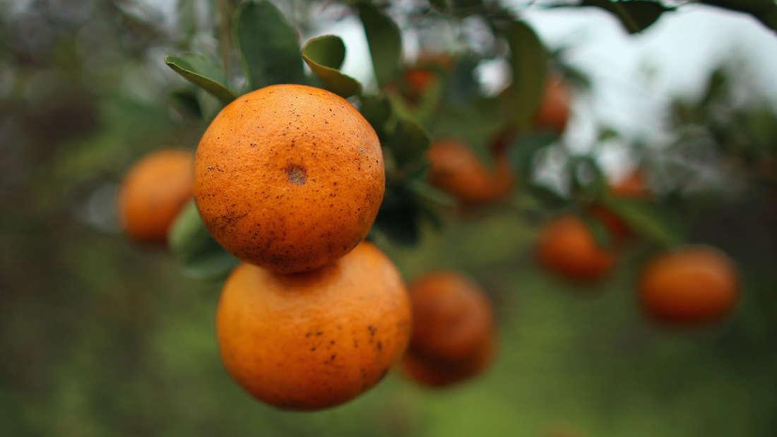 Orangen enthalten auch Lutein. Doch um den Wert zu erreichen, müsste man ungefähr 30 Orangen pro Tag zu sich nehmen.