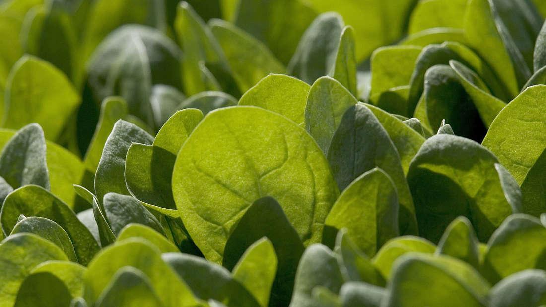 Spinat gehört zu den luteinreichsten Gemüsen: 100 bis 150 Gramm Grünkohl, Spinat oder Brokkoli enthalten 10 Milligramm Lutein. Für Patienten die perfekte Menge. Um das gleiche Ergebnis mit Möhren zu erzielen, müsste eine Person mehr als ein Kilogramm Karotten pro Tag essen.