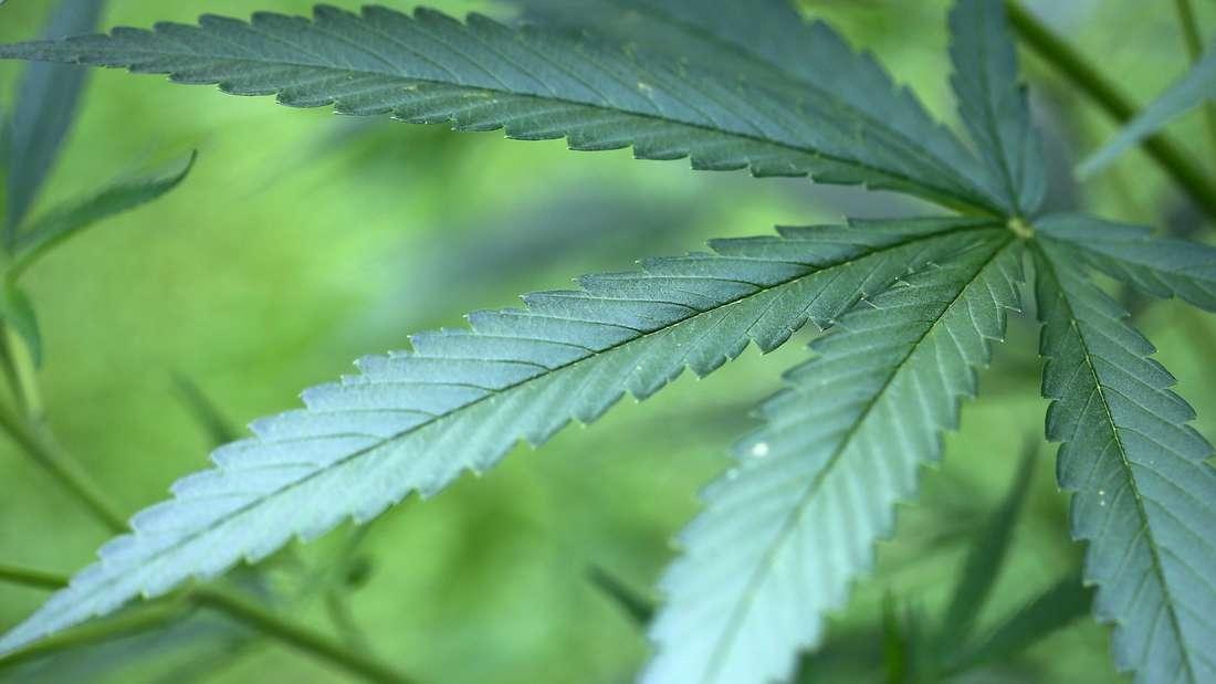 Cannabis Hanf-Pflanzen in einem Garten