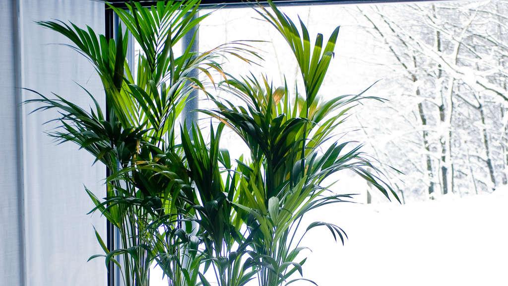 garten und natur zimmerpflanzen brauchen mehr licht als. Black Bedroom Furniture Sets. Home Design Ideas