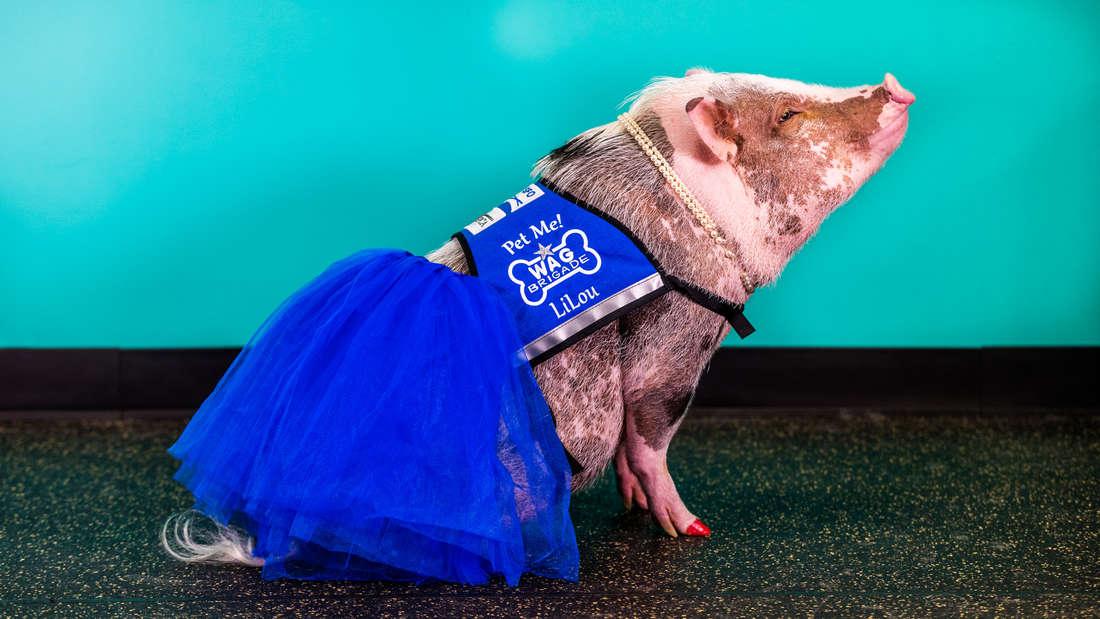 Therapie-Schwein LiLou hilftFluggästen, ihre Flugangst zu bekämpfen.
