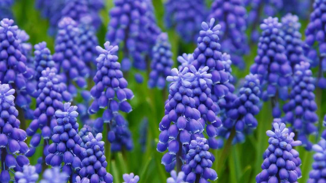 Die Traubenhyazinthe verdankt ihren Namen den weintraubenähnlichen Blüten, die sie trägt. Sie gehört zu den Spargelgewächsen und stammt aus Südosteuropa und Kleinasien. Aber vorsichtig: Sie ist giftig für Tiere wie beispielsweise Katzen.
