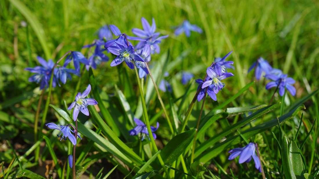 Bei der Benennung dieser Blume war man wenig kreativ - dafür ist sie aber nichtminder schön. Der Blaustern ist äußerst pflegeleicht und deshalb perfekt für den Gartenmuffel. Seine Zwiebel ist aber für Menschen und Tiere leicht giftig.