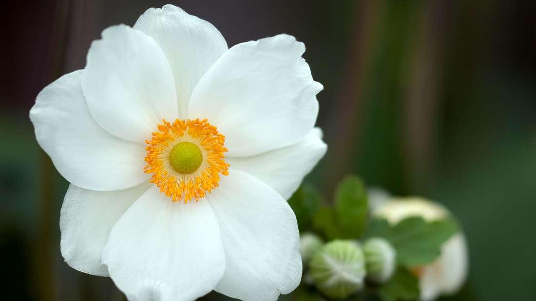 Die Anemone, auch Buschwindröschen genannt, fühlt sich besonders in schattigen und feuchten Gehölzen wohl undist als Bodendecker bekannt. Ab März zeigt sie ihre Blüten und erstrahlt invielerlei Farben.