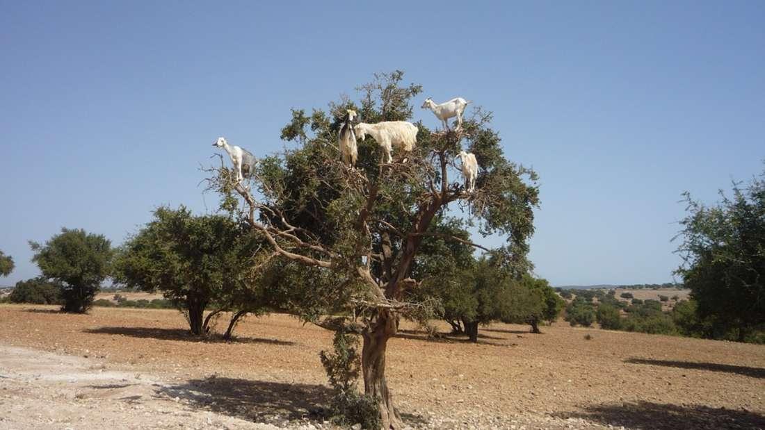 Ja, Sie sehen richtig: In Marokko klettern Ziegen auf Bäume - aus einem bestimmten Grund.