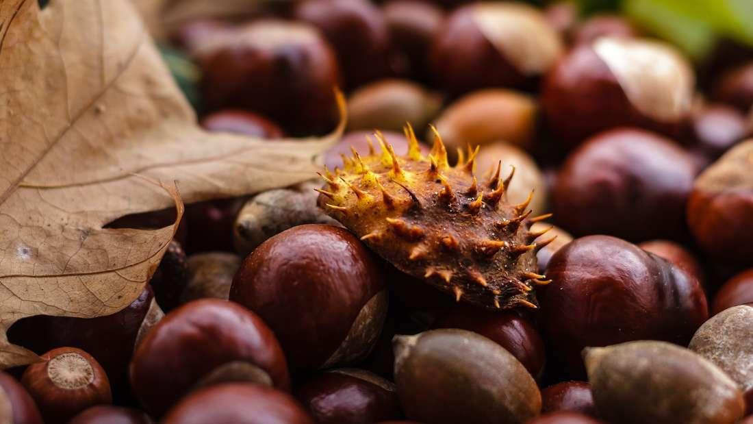 Kastanien finden Sie im Herbst überall in Parks und in Wäldern. Aus den Früchten lässt sich ein praktisches Waschmittel herstellen.