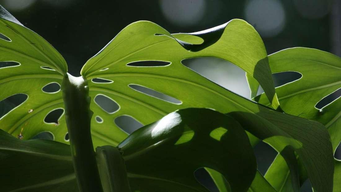 Verzehrt ihr Nachwuchs Teile des Fensterblatts, können Schluckbeschwerden auftreten und sogar die Zunge anschwellen.