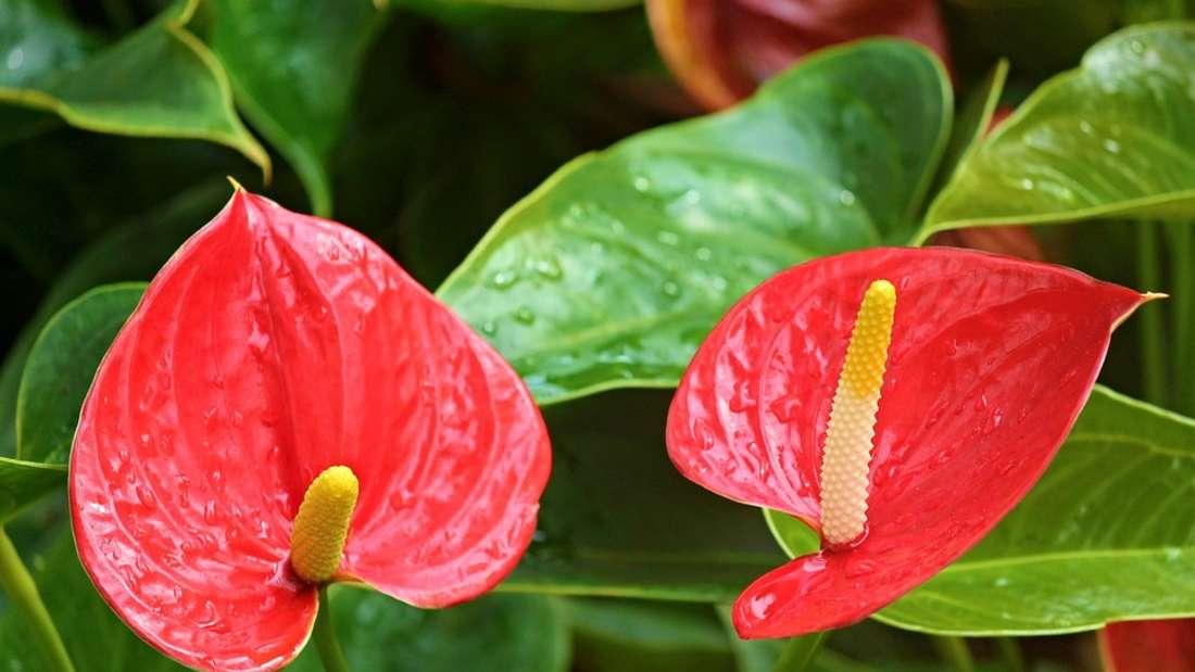 Wer die Flamingoblume berührt, muss mit Rötungen und schmerzhaften Blasen rechnen. Sie besitzt winzige Nadeln, die giftigen Zellsaft in die Haut leiten.