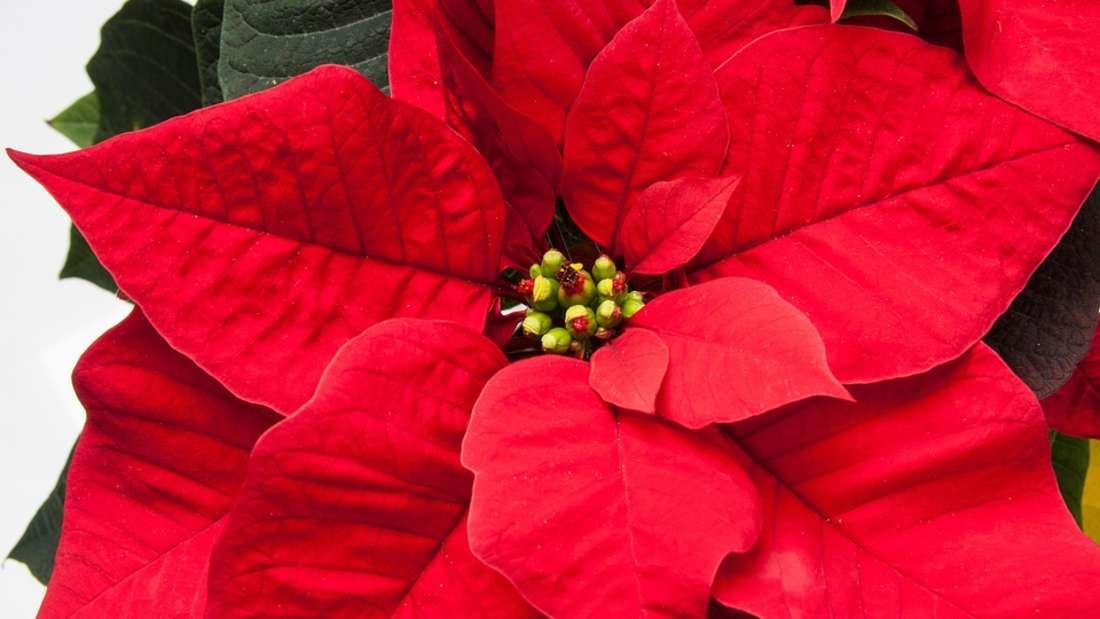 Zur Adventszeit haben sie Hochkonjunktur: dieWeihnachtssterne. Doch halten Sie diesen Blickfang besser von Ihrem Nachwuchs fern. Bereits kleine Teile der Pflanze können die Schleimhäute im Mund stark reizen.