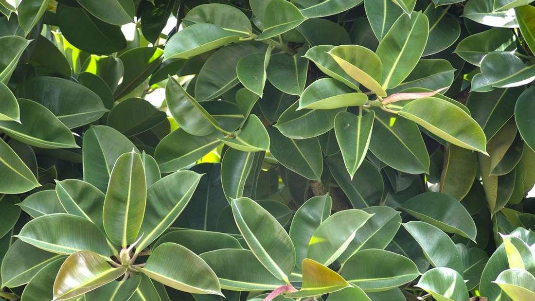 Beim Gummibaum (Ficus) ist der weißliche Milchsaft der Blätter gefährlich. Die Folge: starke Bauchschmerzen undErbrechen.