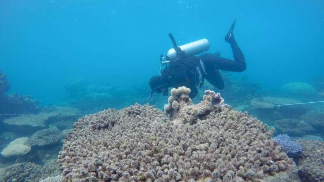 Bei einer Korallenbleiche sterben winzige Algen ab, die mit den Korallen in einer Lebens- und Nahrungsgemeinschaft leben. Foto: Andreas Dietzel/ARC Centre of Excellence in Coral Reef Studies/dpa