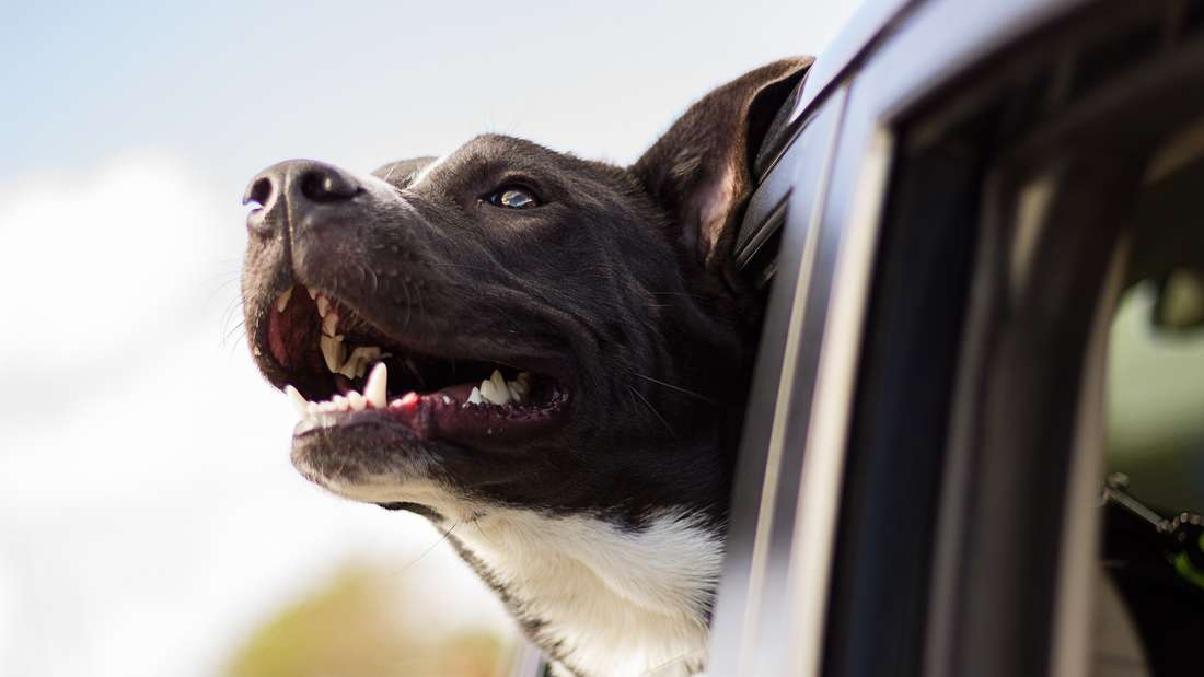 Ein Hund im Auto ist Ladung - und muss deshalb korrekt gesichert werden.