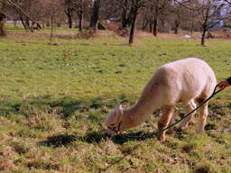 Alpaka wanderung heidelberg