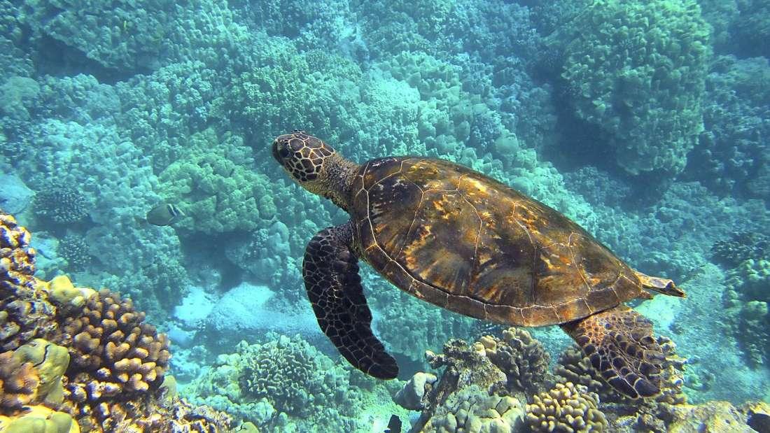 Schildkröten am Hideaways Beach, Kaua ' i