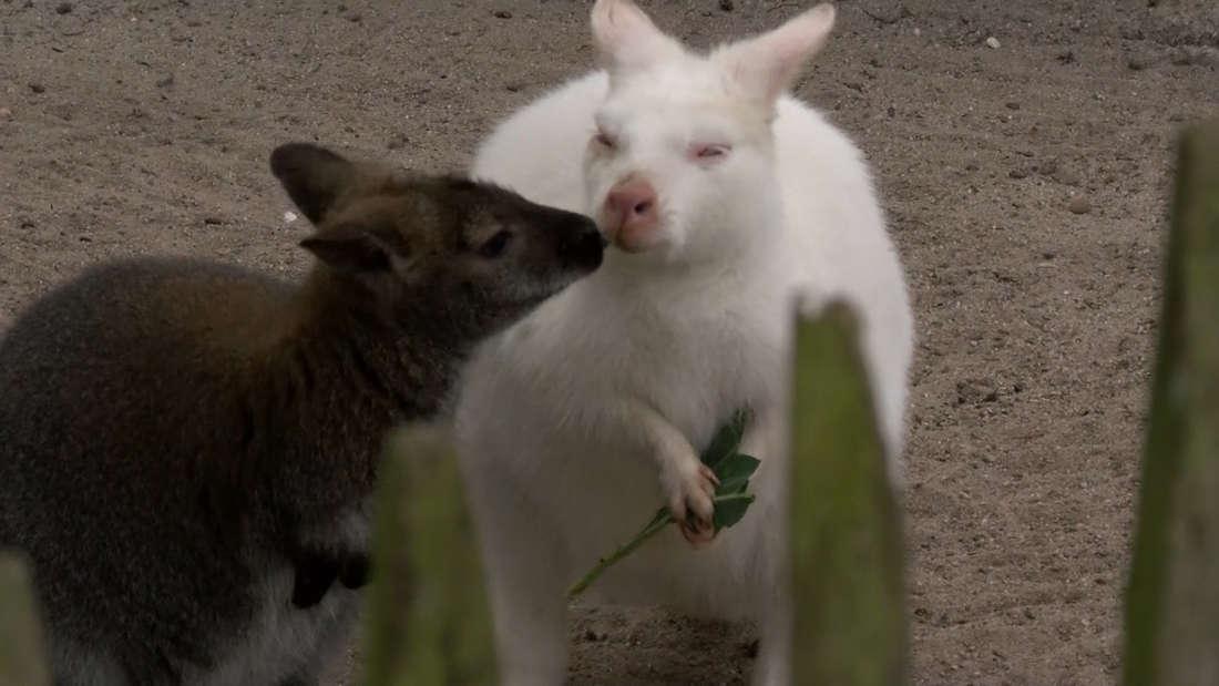 Eine zuckersüße Känguru-Familie beglückt den Landauer Zoo.