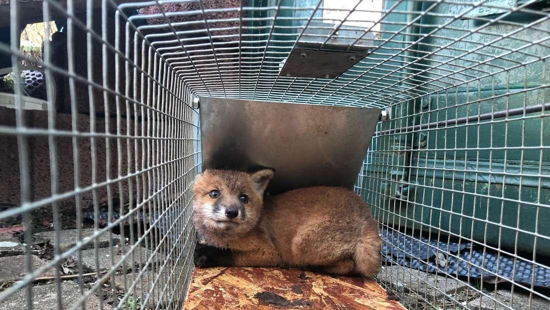 Die verwaisten Fuchs-Welpen sind endlich in Sicherheit!