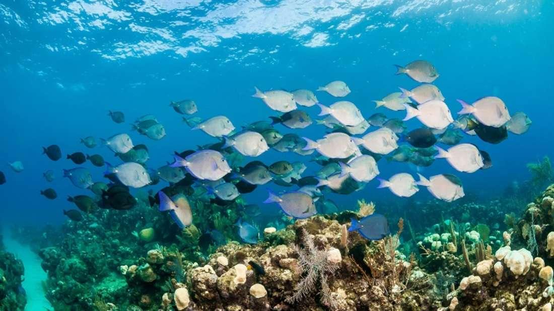 Fische im Meer vor Honduras.