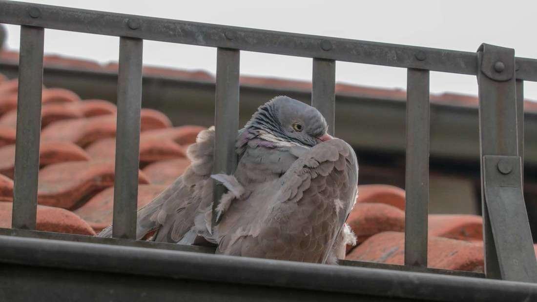 Angeschossene Taube verkeilt sich in Gitter