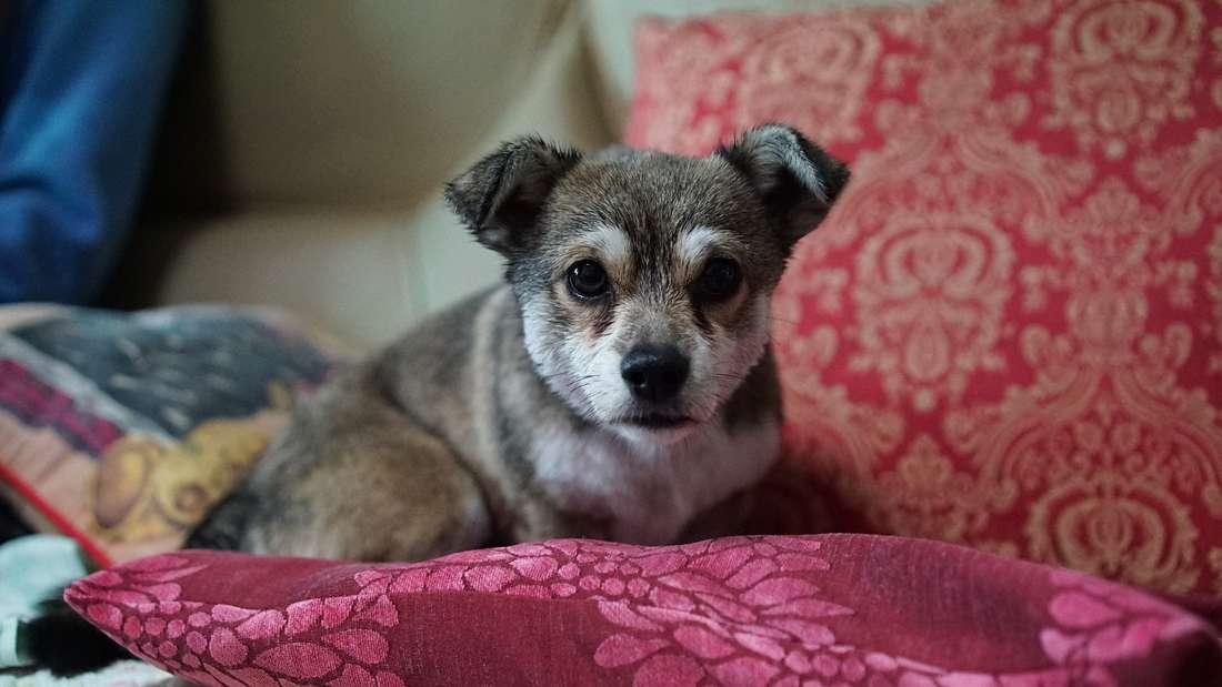 So süß sie aussehen - Hunde hinterlassen viele Haare auf Sofa, Boden und Teppichen.