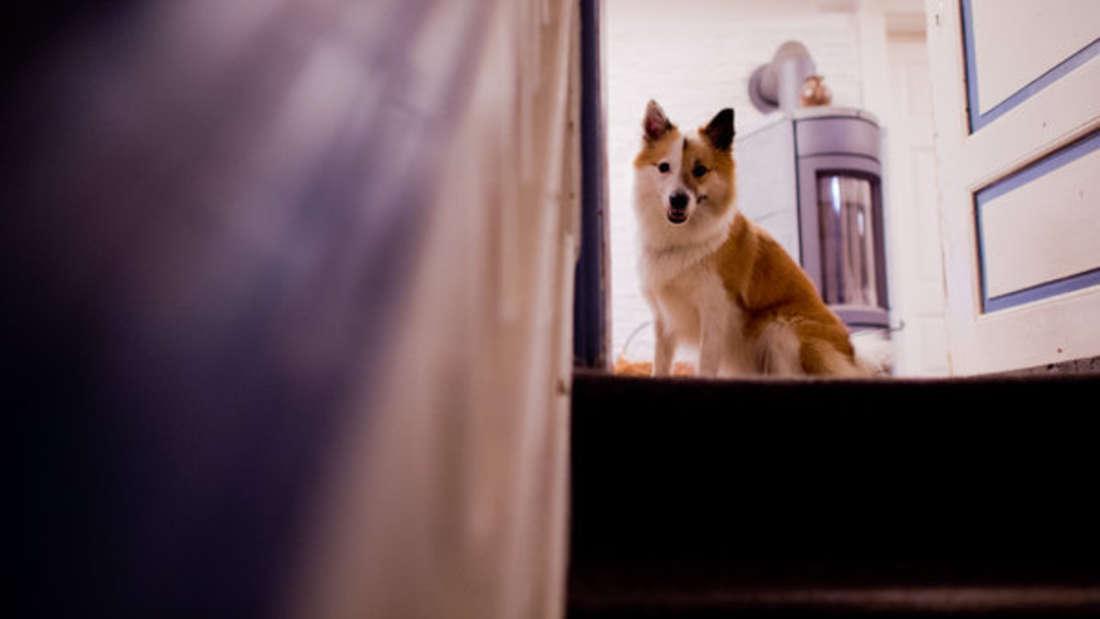 Viele wünschen sich einen Hund - doch oft muss man erst am Vermieter vorbei.