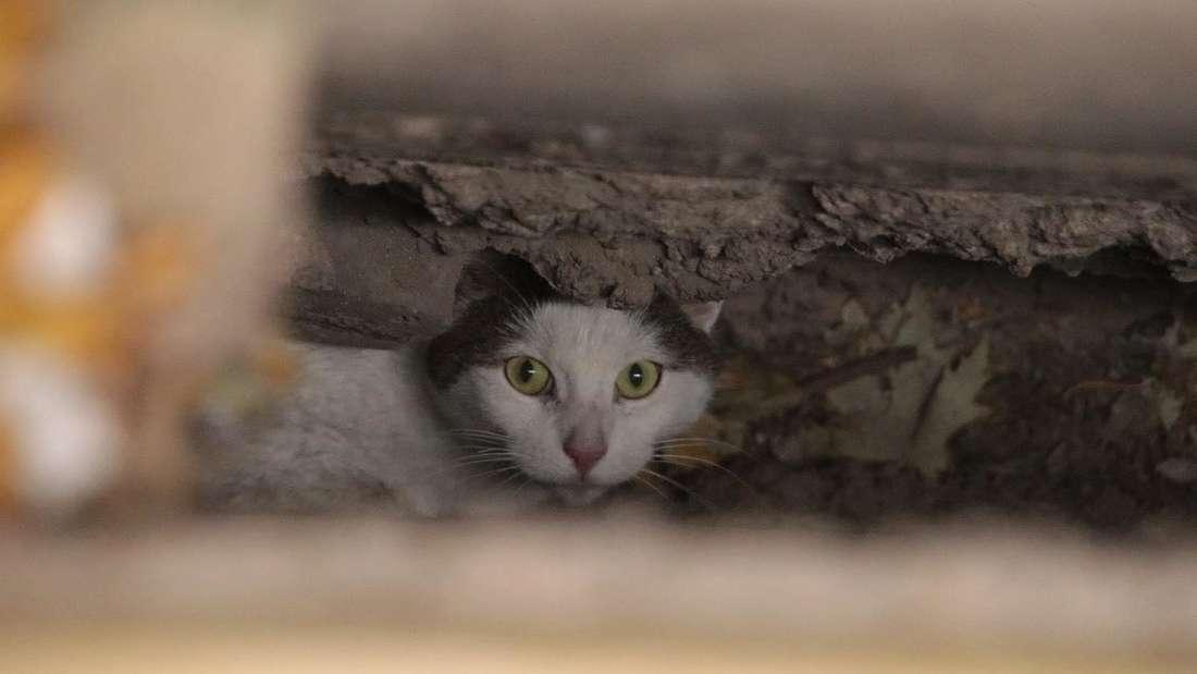Katze streckt zwischen zwei Mauern fest