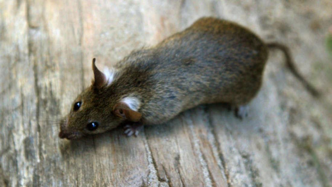 Eine Familie in England teilt sich ihre Wohnung unfreiwillig mit Ratten (Symbolbild).
