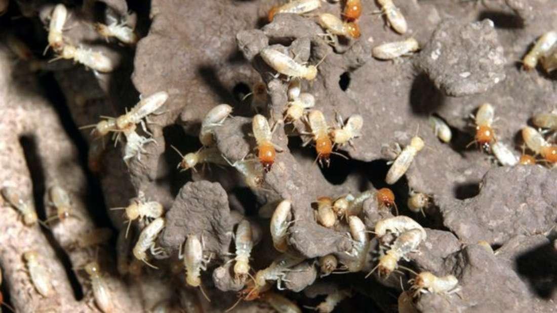 Befallen Termiten Häuser und Wohnungen, besteht die Gefahr, dass sie unbewohnbar werden.
