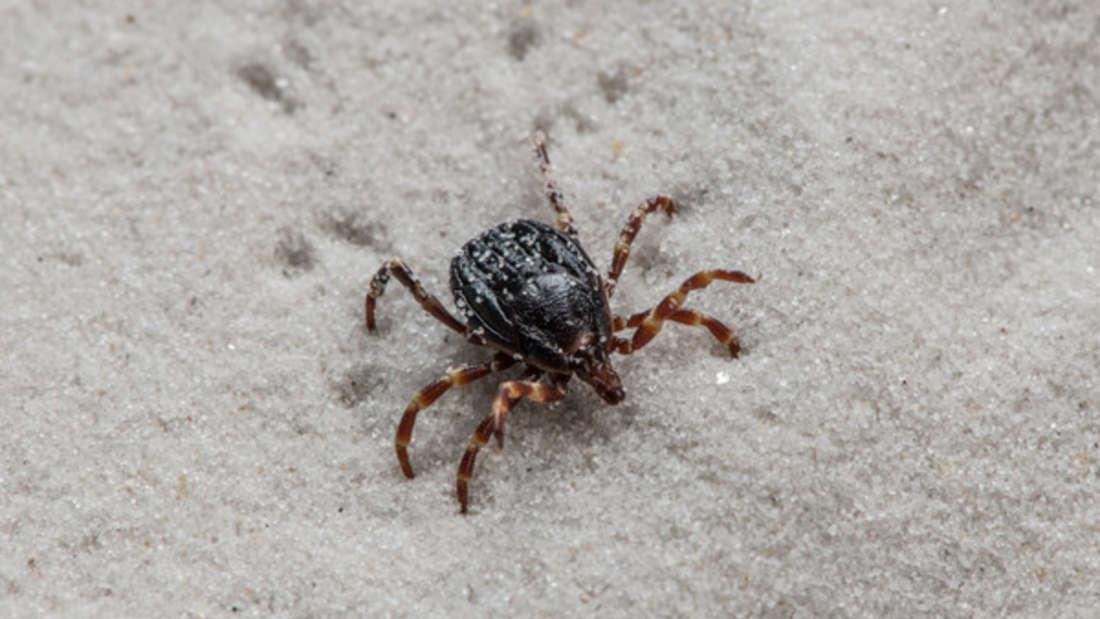 """FSME und Borreliose: Diese """"Super-Zecke"""" überträgt auch andere gefährliche Krankheiten."""