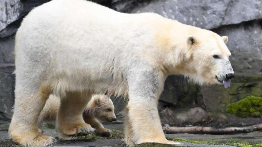 Erste Schritte ins Freie: Die kleine Eisbärin auf Erkundungstour mit ihrer Mutter Tonja. Foto: Kay Nietfeld