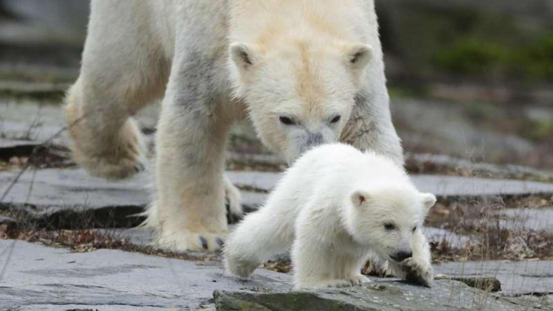 Die kleine, noch namenlose Eisbärin macht ihre erste Erkundungstour im Tierpark mit ihrer Mutter Tonja. Foto: Kay Nietfeld