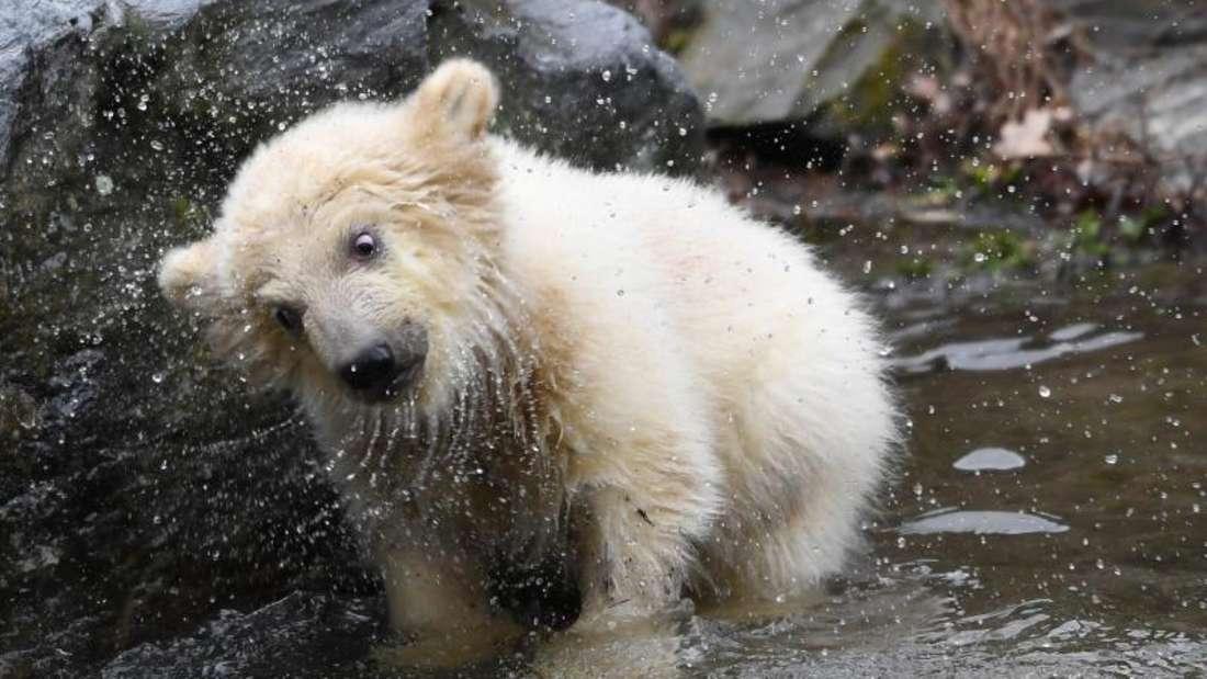 Das Eisbär-Mädchen ist vor dreieinhalb Monaten zur Welt gekommen. Foto: Britta Pedersen