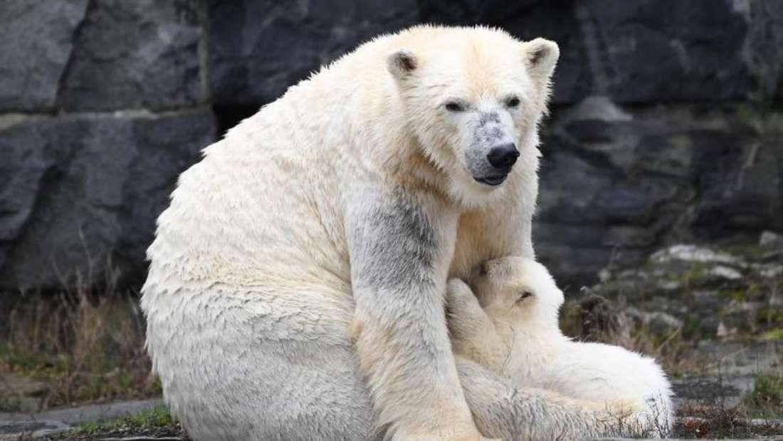 Die noch namenlose Eisbärin mit ihrer Mutter Tonja. Foto: Britta Pedersen