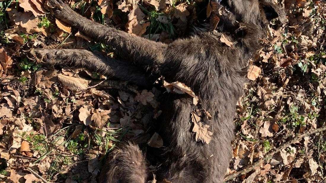 Im Wald ist ein weiterer toter Hund gefunden worden.