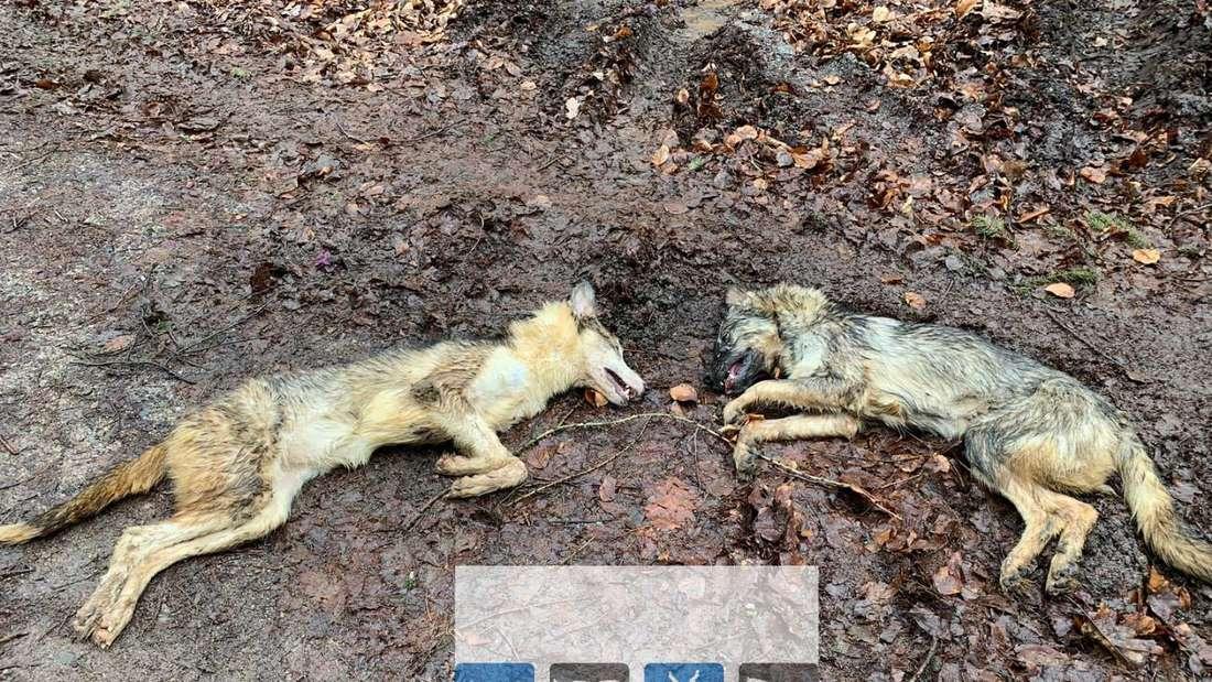 Tote Hunde bei Schwetzingen gefunden
