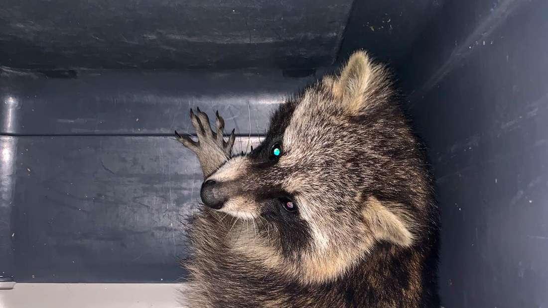 Gerettet! Der Waschbär kann von der Tierrettung in Sicherheit gebracht werden.