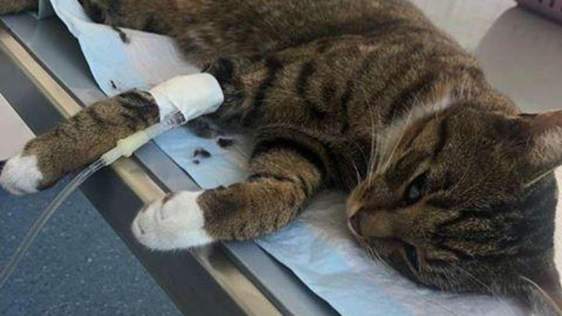 Kater Tim bekommt beim Tierarzt eine Infusion und Schmerzmittel.