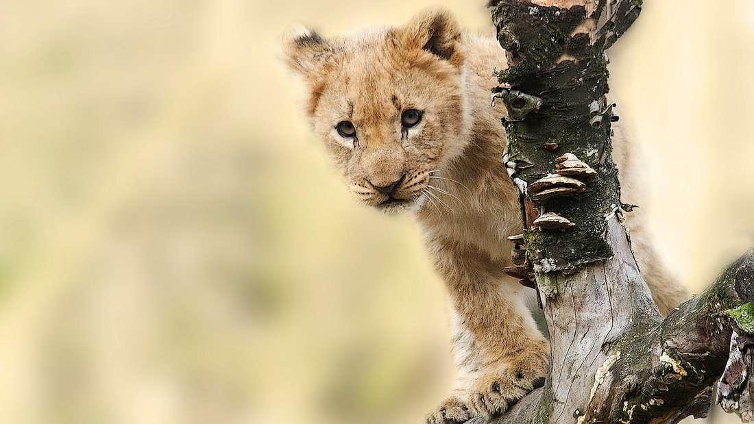 """Reise nach """"König der Löwen"""" - mit dieser Übersicht werden Fans glücklich."""