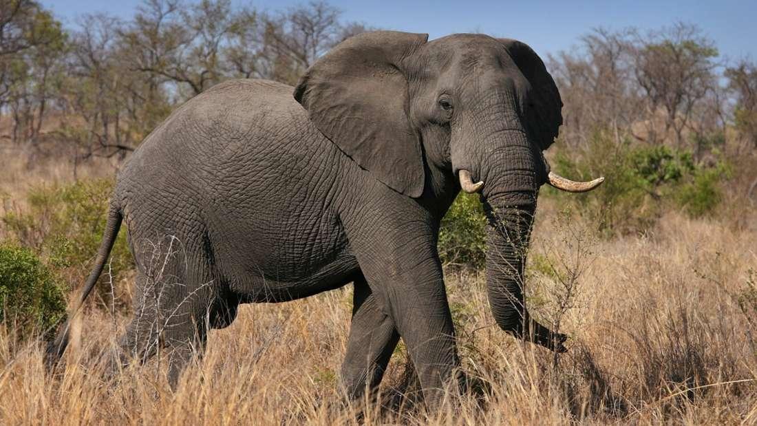 Ein Elefant griff einen Touristen-Jeep an. (Symbolbild)