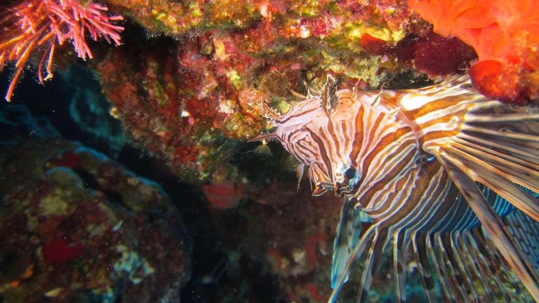 Feuerfische im Mittelmeer - so gefährlich sind sie wirklich.