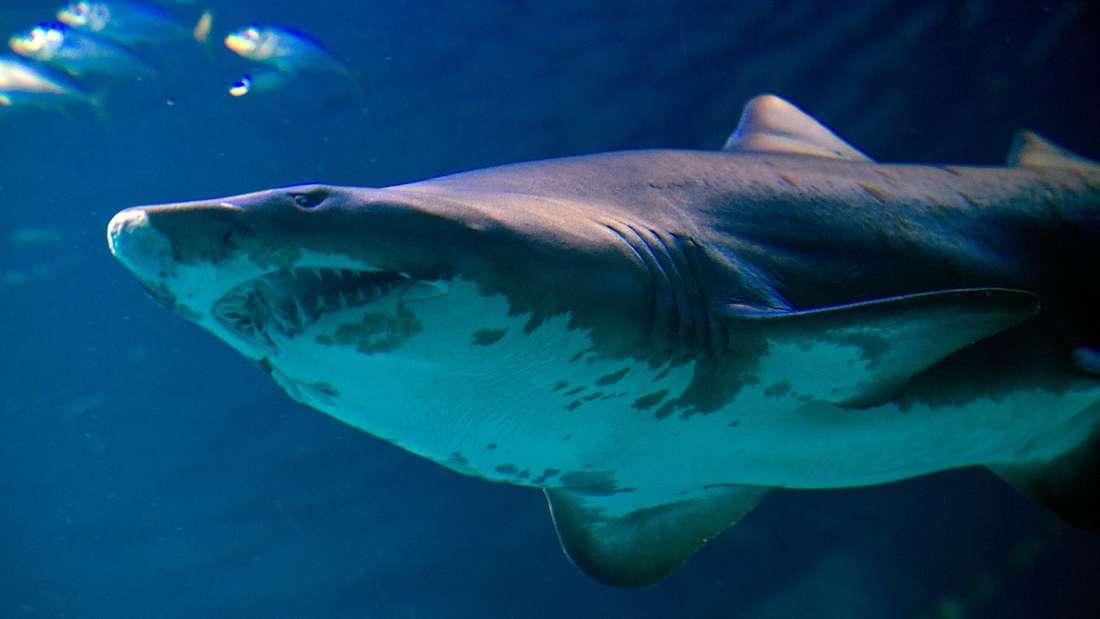 Haiangriffe gibt es in Florida recht häufig. (Symbolbild)