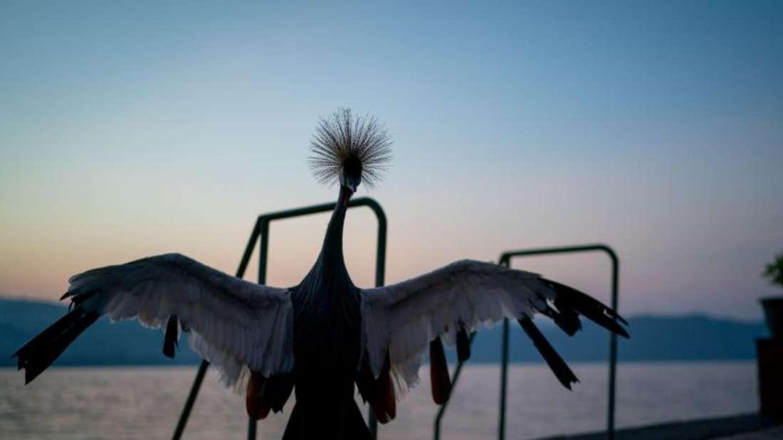 Ein Kranich steht am frühen Morgen am Ufer des Kivusees. Foto: Kay Nietfeld