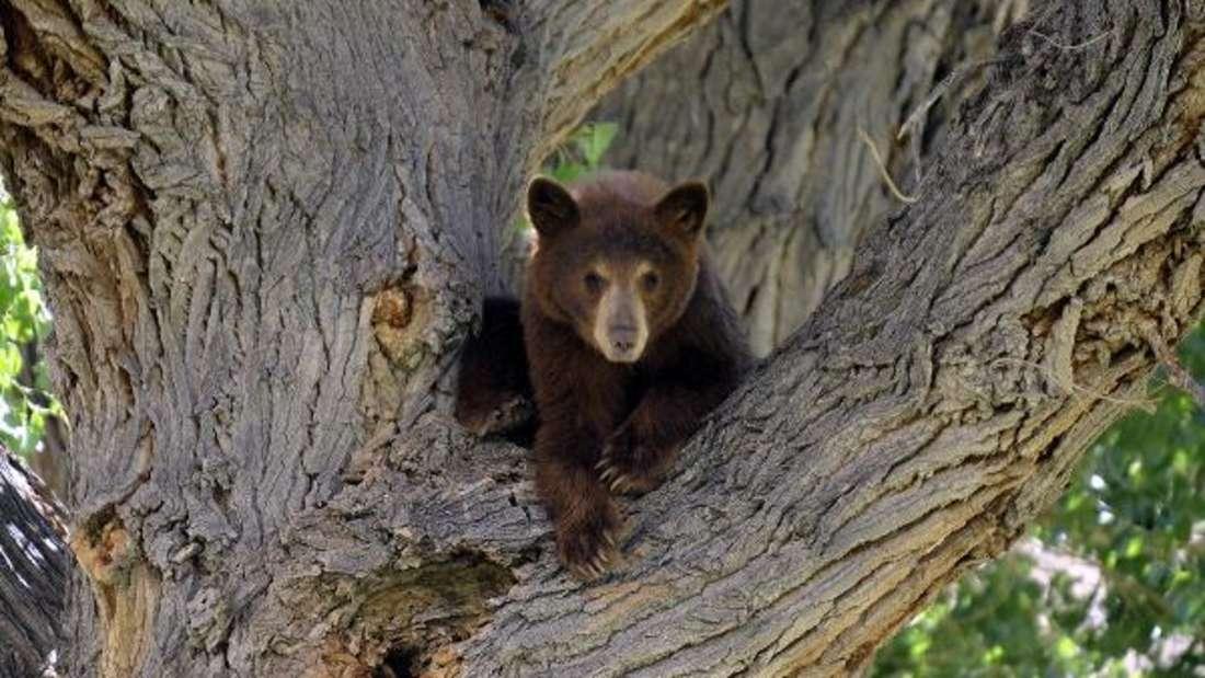 Schwarzbären sind nicht ungefährlich. (Symbolbild)