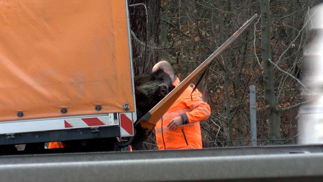 A6/Hockenheim: Die getöteten Wildschweine werden von der Autobahnmeisterei beseitigt.