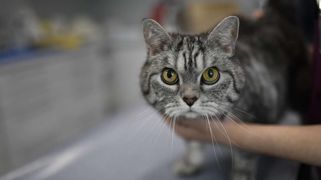 Einige Katzen haben Coronaviren in sich – allerdings haben diese nichts mit dem SARS-CoV-2 zu tun.