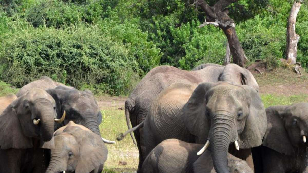 Elefantensterben In Botswana Ursache