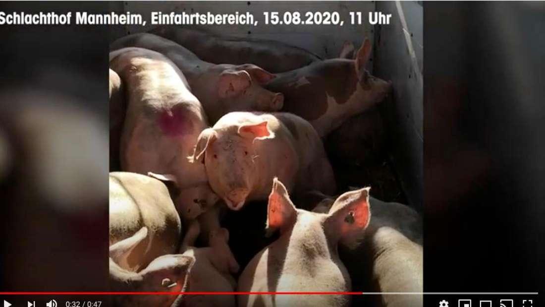 Ein Ausschnitt des Videos, das den Schweine-Transport zeigt.