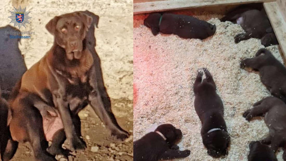 Schokobraune Labradorhündin mit ihren fünf Wochen alten Welpen.